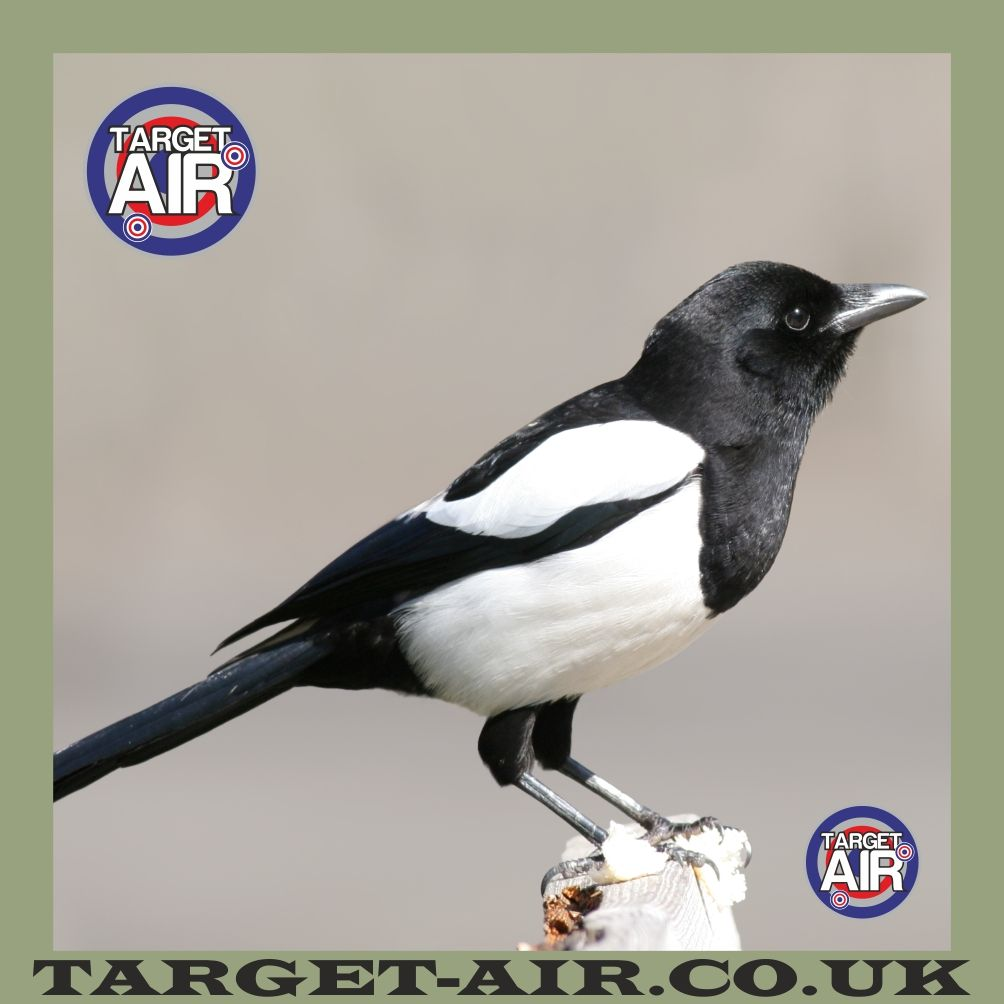 photograph about Printable Animal Targets titled Animal Magpie Entire Color - Airsoft BB Gun Capturing Objectives